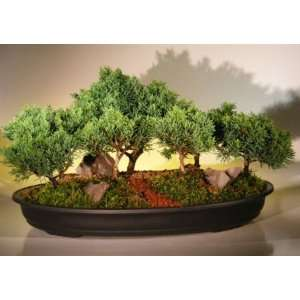Bonsai Boys Shimpaku Juniper Bonsai Tree Seven 7 Tree Forest Group